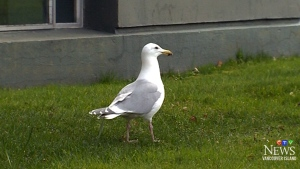 'Freddie' the dancing seagull amuses Victoria resi