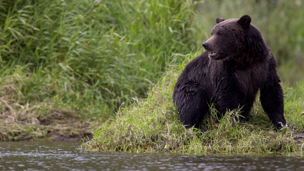 Jasper National Park stops issuing bear reports so people 'give wildlife space'