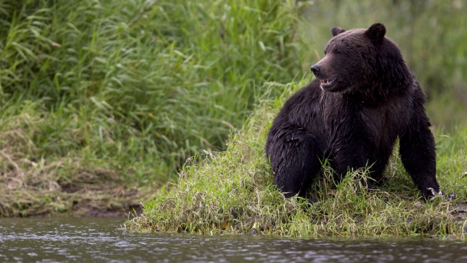 A grizzly bear is seen fishing along a river in Tweedsmuir Provincial Park near Bella Coola, B.C. Friday, Sept 10, 2010. The bears are out and about in Banff National Park. (THE CANADIAN PRESS/Jonathan Hayward)