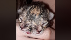 "A kitten named ""Miracle"" was recently born with two faces. (Jodi Waite/Facebook)"