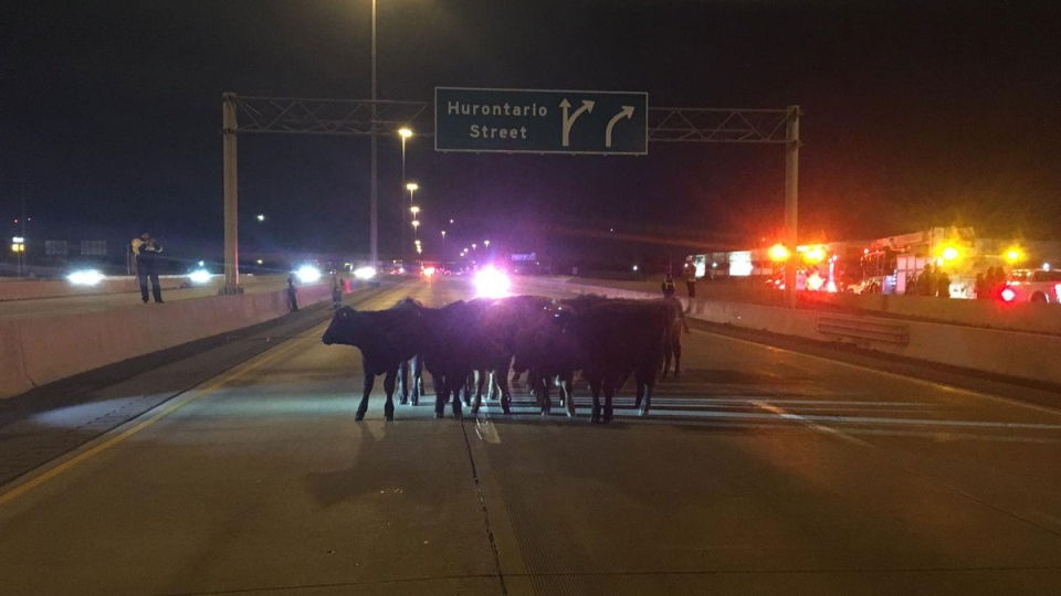 Man charged for crash that left cattle roaming Toronto highway | CTV