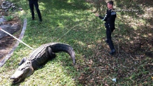 12-foot, 750-pound gator trapped in Florida | CTV News
