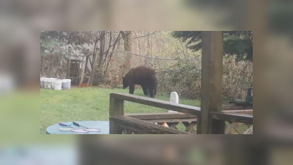 A Port Coquitlam resident captured a black bear roaming around his backyard in 2018. Courtesy: Joe Ziwize.