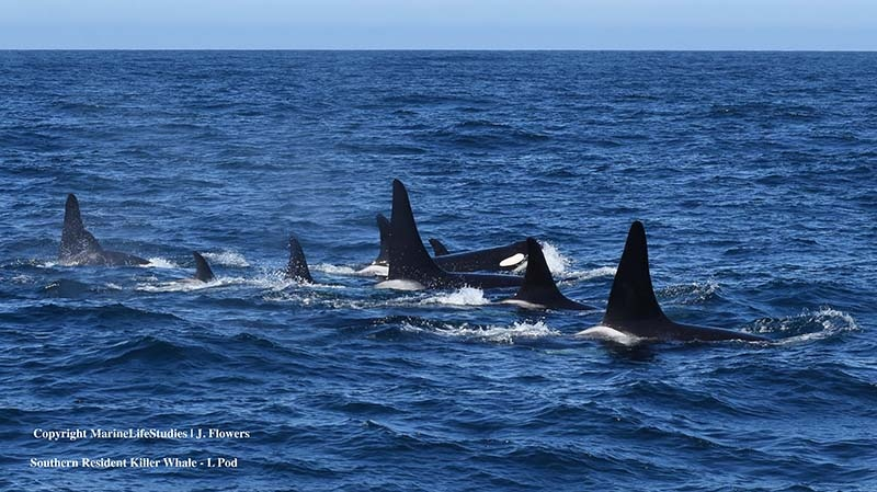 Southern resident killer whales are seen in Monterey Bay, on the southern California coast. (MarineLife Studies/J. Flowers)