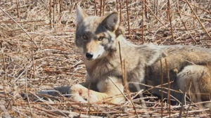 A coyote is seen stuck in an animal trap in Mississauga in this undated photograph.