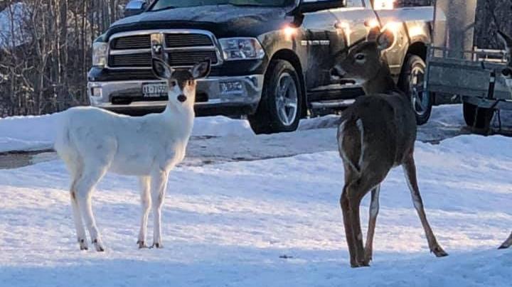 Piebald deer in Little Current