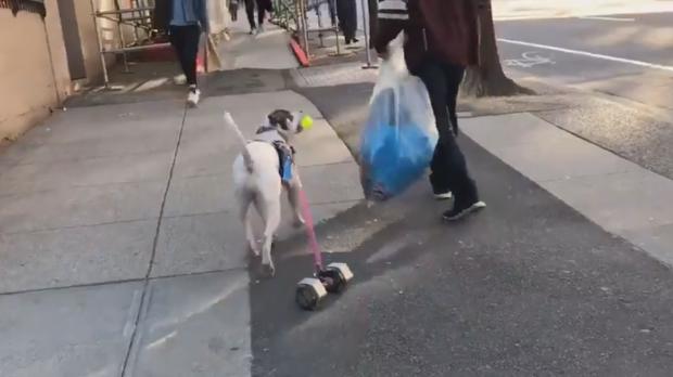 Dog pulls dumbbell