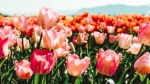 Tulips are seen in an image posted to Instagram by @abbotsfordtulipfestival