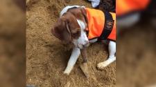Crystal the beagle