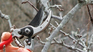 This undated photo shows part of an apple branch being pruned in New Paltz, N.Y. Apples bear fruits on long-lived, stubby spurs, but even these must be pruned eventually to stimulate younger, new spurs and keep them from overcrowding. (Lee Reich via AP)