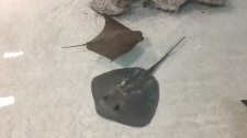 A cownose (top) and a southern (bottom) stingray a