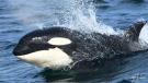 A pod of Bigg&#39;s killer whales were spotted off the coast of British Columbia on Sunday, April 7, 2019. 