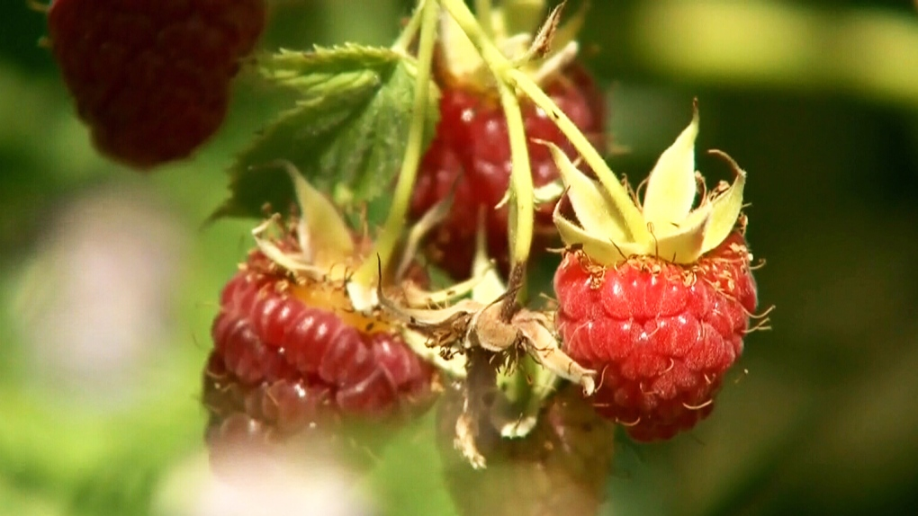 B.C. raspberry farmers worried about upcoming crop