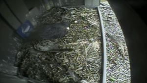 A falcon seen nesting in the microwave tower at CTV Kitchener in 2019.