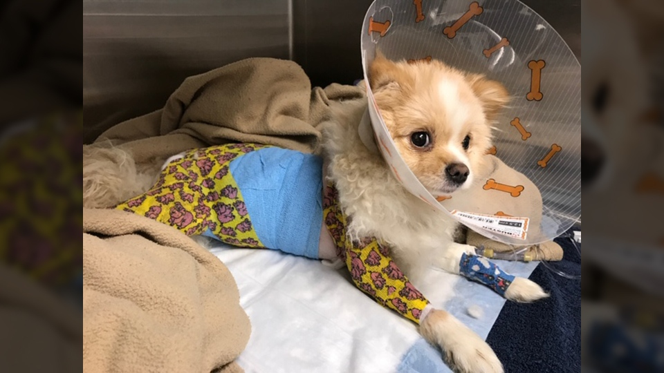 Pomeranian puppy, Kiki, is seen in this photo from the BC SPCA.