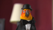 A bird wearing a tuxedo and hat