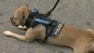 CTV Windsor: Pit bull's new job