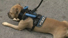 CTV Windsor: Pit bull's new job