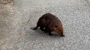 beaver on grandview