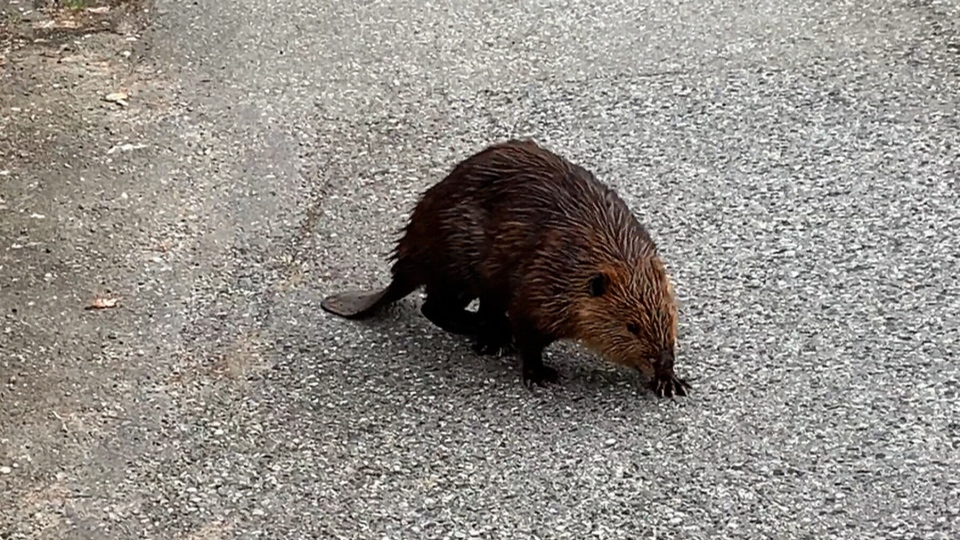 A beaver is seen on Vancouver's Grandview Highway in this social media video. (valleyofroses / Reddit)