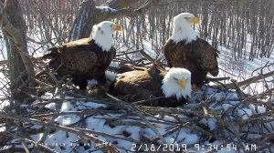 In this Feb. 18, 2019 still photo from video provided by the Stewards of Upper Mississippi River Refuge. in Thompson, Ill., shows two males Valor I and Valor II and one female bald eagle, Starr, center, sharing a nest of eggs along the Upper Mississippi River near Fulton, Illinois. (Stewards of Upper Mississippi River Refuge via AP)