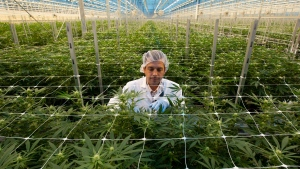 A Hexo Corp. employee examines cannabis plants in one of the company's greenhouses, seen during a tour of the facility, Thursday, October 11, 2018 in Masson Angers, Que. THE CANADIAN PRESS/Adrian Wyld