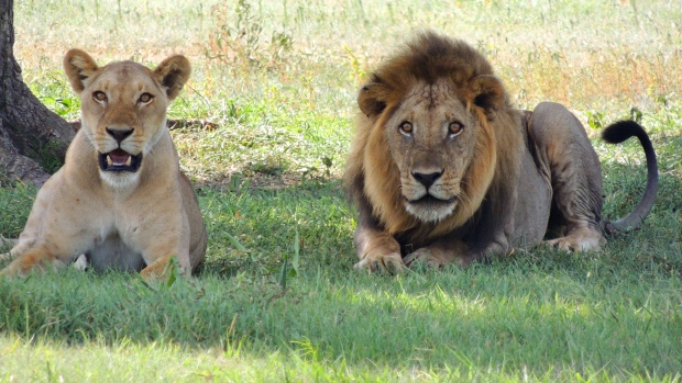Ontario community bans keeping of exotic animals, from lions