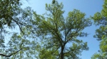 Emerald ash borer still a top concern in Winnipeg