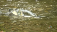 Federal government restricts salmon fishing