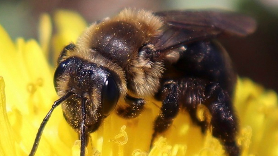 This 2018 photo provided by the University of New Hampshire shows a ground nesting bee pollinating a flower in New Hampshire. (University of New Hampshire/Molly Jacobson via AP)