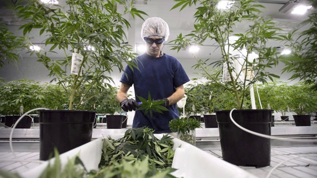 "The U.S. Customs and Border Protection agency says in an updated statement that someone working in the legal pot industry in Canada will ""generally be admissible"" as long as their travel is not related to the industry. Workers process medical marijuana at Canopy Growth Corporation's Tweed facility in Smiths Falls, Ont., on Monday, Feb. 12, 2018. (THE CANADIAN PRESS/Sean Kilpatrick)"