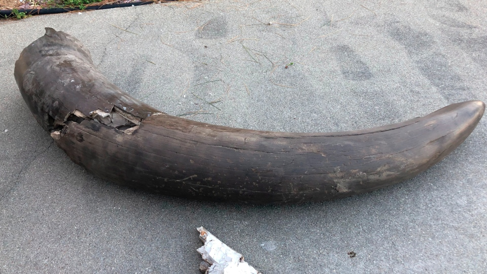 The tusk of a mastodon found on property owned by Joe Schepman and his family is shown on April 15, 2019 in Seymour, Ind. (Jordan Richart/The Tribune via AP)