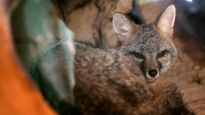 A gray fox looks on while resting in an air-conditioned enclosure at the Las Vegas Springs Preserve in Las Vegas, Wednesday, July 25, 2007. (AP Photo/Jae C. Hong)