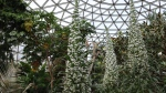 "An echium pininana, commonly called a ""snow tower"" is seen in a recent handout photo at the Bloedel Conservatory in Queen Elizabeth Park, Vancouver. THE CANADIAN PRESS/HO-Vancouver Park Board"