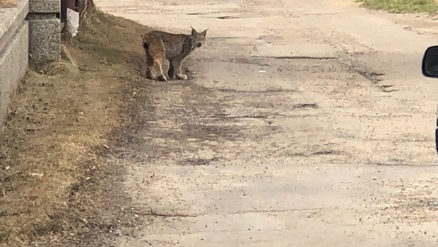 'It's pretty unmistakable': Lynx spotted near downtown Edmonton