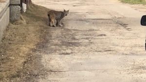 A lynx was spotted in the Glenora neighbourhood on Thursday afternoon.