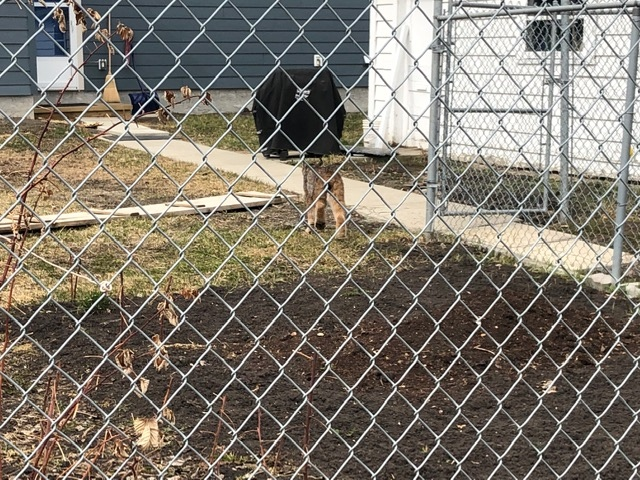 The lynx was seen walking around the area of 134 Street and 108 Avenue.