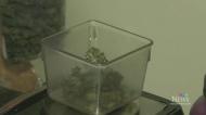 Despite legalization, 4/20 still a go in Victoria