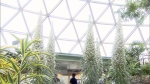 'Snow trees' in bloom at Bloedel