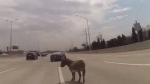 Donkey found wandering on Chicago highway
