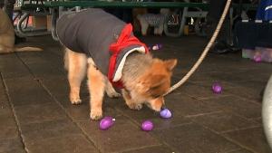 dog, easter egg hunt