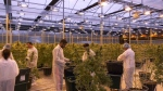 UBC grads help pot industry go high-tech