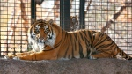 This Nov. 2018 file photo shows Sanjiv, a Sumatran tiger at the Topeka Zoo in Topeka, Kansas. City officials say Sanjiv, mauled a zookeeper early Saturday, April 20, 2019 in a secured indoor space at the zoo. (The Topeka Capital-Journal via AP)
