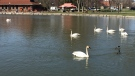 Seven swans seen near one another in Victoria Park. Altogether, at least nine swans were seen in the water. (Dan Lauckner / CTV Kitchener)