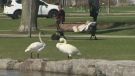 Extended: Swan bonanza hits Victoria Park