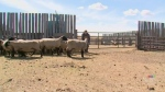 Saskatchewan's sheep industry is growing in the wa
