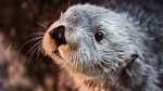 This undated photo provided by Aquarium of the Pacific shows Charlie, a male sea otter. (Robin Riggs/Aquarium of the Pacific via AP)