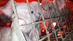 This still image was taken form footage activists say was captured at Excelsior Hog Farm in February and March and later provided to PETA anonymously.