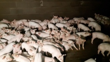 Excelsior Hog Farm