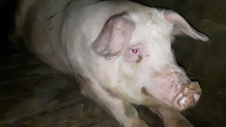 This still image was taken from footage activists say was captured at Excelsior Hog Farm in February and March and later provided to PETA anonymously.